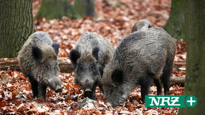 NRW will Nachtzielgeräte zur Wildschweinjagd zulassen