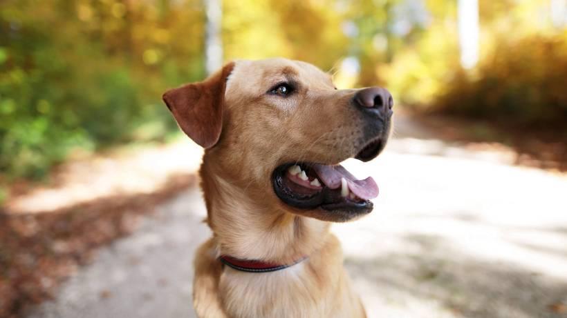 Hunderassen Labrador Ist Der Beliebteste Hund Der Deutschen