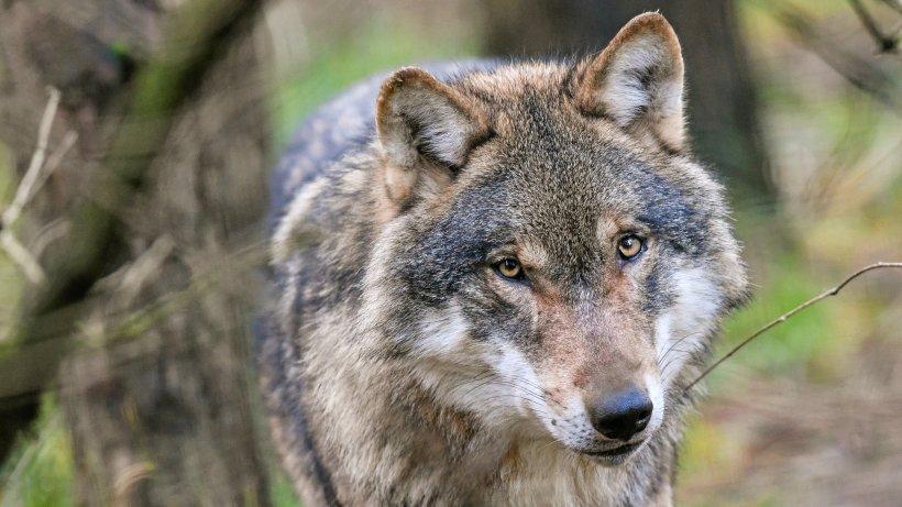 Erneuter Schafsriss: Wölfin Gloria unter genauer Beobachtung - NRZ